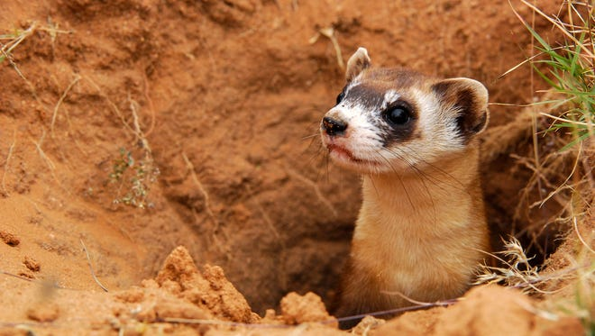 Black-footed ferrets have dwindled as their prey, prairie dogs, have also died off.