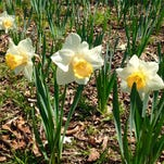 Not too late to plant bulbs for a payoff in spring, summer