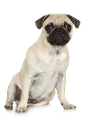 Studio portrait of pug dog