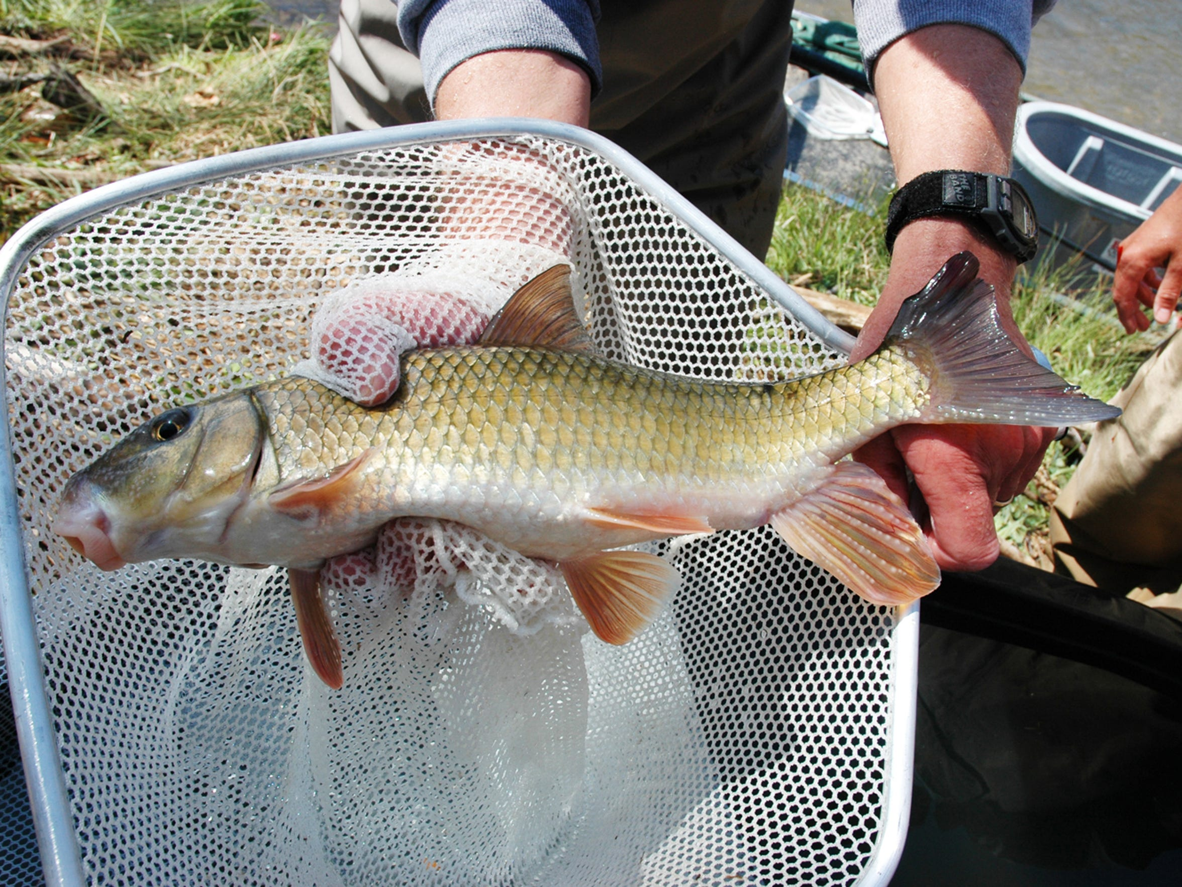 A sicklefin redhorse caught in a net in the Little Tennessee River. The rare fish is a candidate for the Endangered Species List.