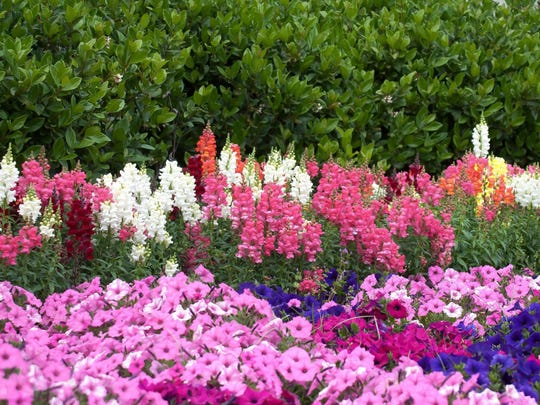 Snapdragons partner well with other annuals and show out in dramatic fashion against evergreen shrubs.