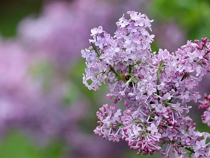 Lilacs during the 2018 Rochester Lilac Festival.