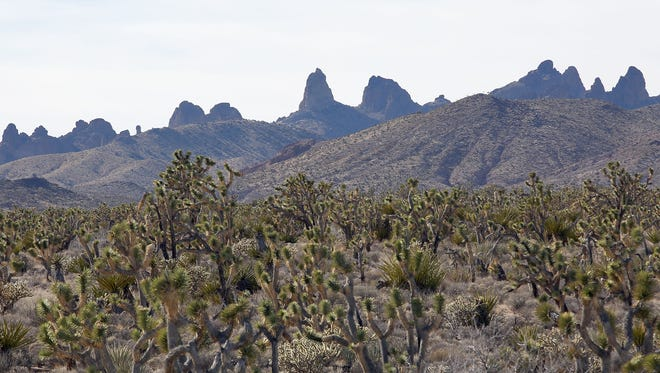 President Barack Obama used his executive authority under the Antiquities Act to protect this lush expanse of Joshua trees in the Castle Mountains.