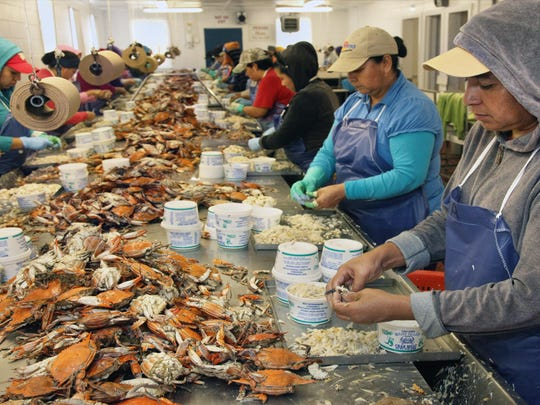 In this file photo, workers under the H-2B visa program picks crabs. Maryland is facing a shortage after a high demand of requests was not met.