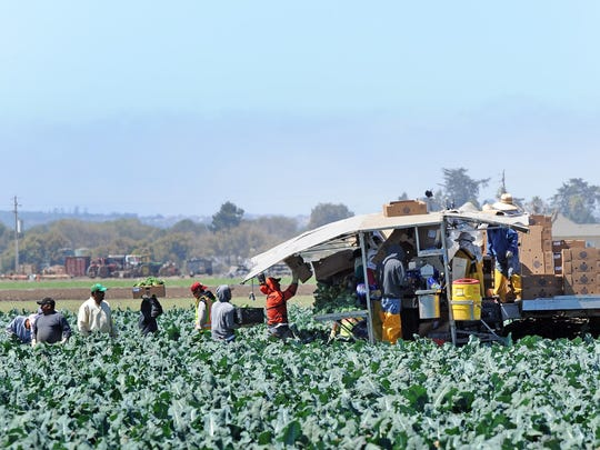 A crew of farm harvesters working in a field off Spreckels Boulevard south of Salinas loads leafy greens onto a boxing conveyor.