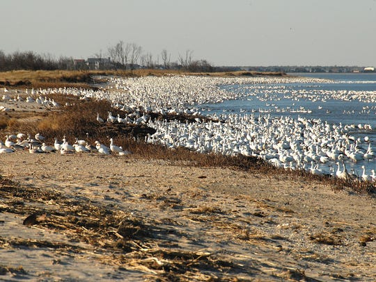 Snow geese are pictured at Fowler Beach.