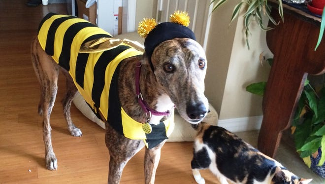 Dressed for Halloween, Train lives in Fayetteville, Arkansas, with his owner Janet Taylor and cat Gaby. Train, a former racing greyhound, was adopted through Greyhound Pet Adoption, Springfield MO (GPAMO). The not-for-profit celebrates 25 years of greyhound adoptions this month.