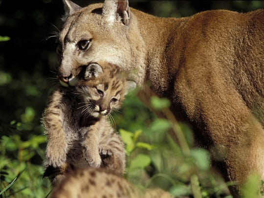 Wildlife tracker and photographer Susan C. Morse took this photo of a cougar mother and her cub in the western US in the 1990's. The eastern cougar -- known as the catamount to most Vermonters -- has not been seen in decades and was officially ruled extinct.