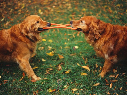 Golden Retrievers playing tug-of-war with toy in garden