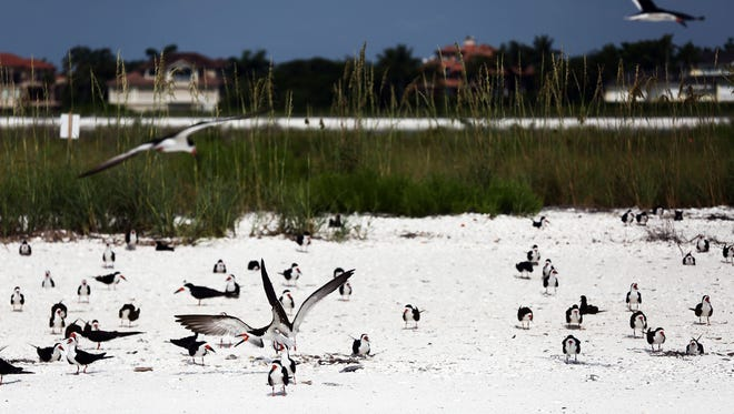 File: A mixed colony of Black Skimmers and Least Tern nest in the sand at Tigertail Beach Park in Marco Island on Monday, June 13, 2016.
