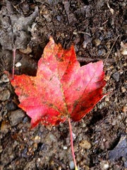 A maple leaf shines on brown ground, September 2013, Burlington