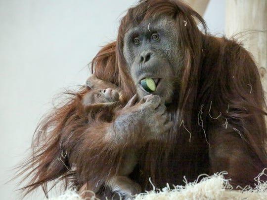 Cerah, a newborn Sumatran orangutan, will make her
