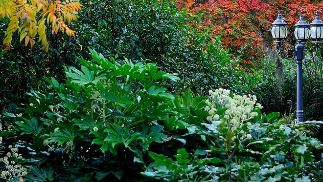 The dark evergreen leaves of the banana shrub are taller than the nearby lamppost and serve as the perfect complement to the fiery fall  foliage.