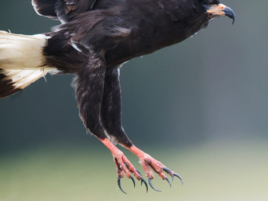 An endangered male snail kite is released by the Clinic