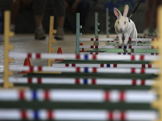 Scarlett, a rabbit led by Cheyenne Lane of Mishicot, hops over an obstacle during the 4-H Rabbit Hopping Fun Show at the Manitowoc County Fair in 2014.