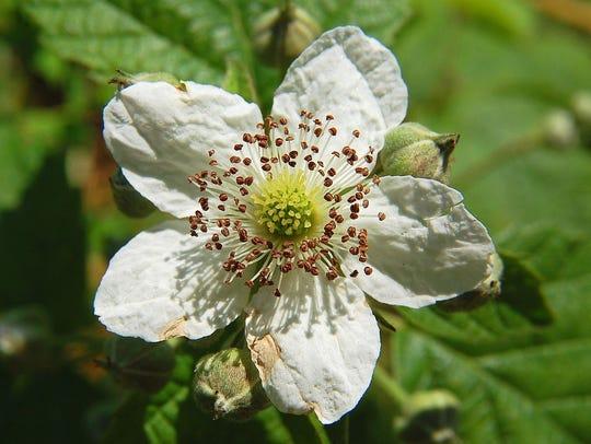 Blackberry flower.