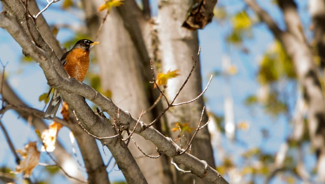 An American robin, the Wisconsin state bird, sits in a tree at Menominee Park as people go for bird walks spotting birds as part of the Oshkosh Bird Fest May 6.