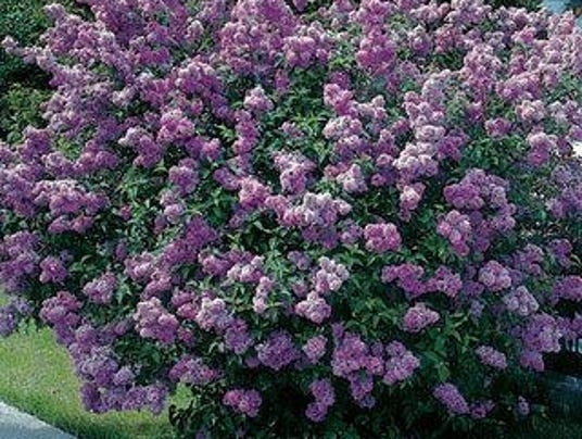 636020182628077464-lilac-bush.jpg