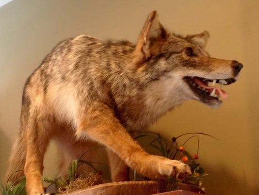 635975315439062114-Coyote-Chapman.jpg