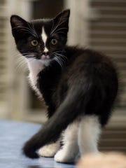 Kyro is an adorable male kitten with beautiful markings.