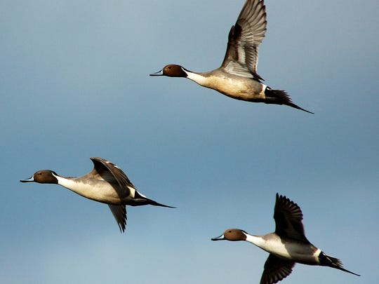 Three northern pintail ducks take flight over Prime