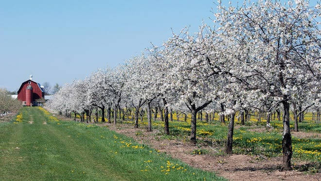 Once the nation's largest producer of cherries, Door County is still home to more than 2,500 acres of cherry orchards that put on a dazzling display every spring. The peninsula celebrates this beauty with its Season of Blossoms, an eight-week festival that includes a number of special events.