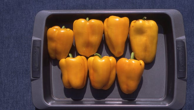 The above seven Flavorburst sweet peppers were harvested from a single potted plant. Richard Poffenbaugh photo.