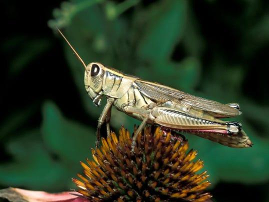 Grasshopper9.jpg