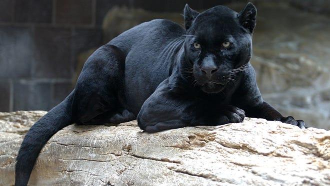 Black panther (Panthera onca)