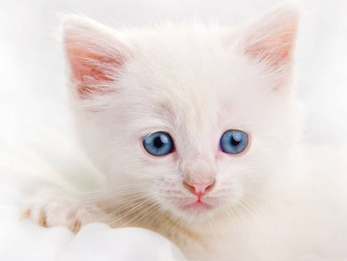 Thor is a stunning pure white chubby kitten that waits to be picked up and cuddled. Thor purrs constantly. Thor is clean, polite, litter trained and just a good little kitten. Thor loves dogs, other cats and children Thor is already neutered and vaccinated.    Call: 435-619-4712