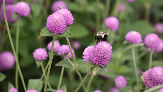 Ping Pong is a new gomphrena series that delivers a blast of color in any landscape bed.