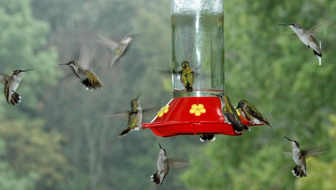 Swarms of ruby-throated hummingbirds have hit local feeders in what appears to be an early seasonal peak.