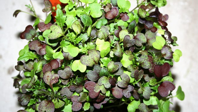 Microgreens such as the mix pictured are rich in phytonutrients and grow quickly indoors with minimal effort on a windowsill or under lights.
