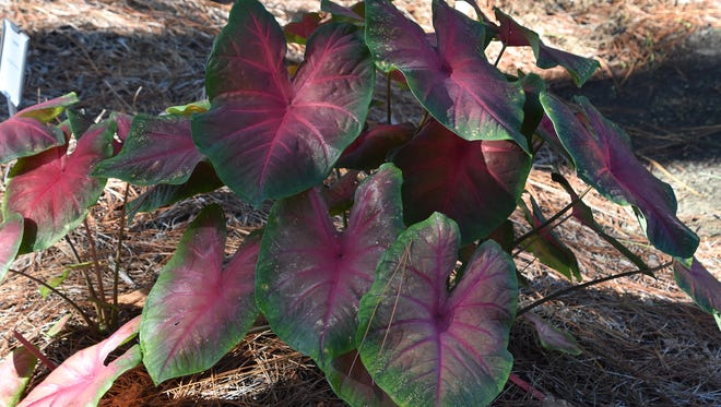 This Red-Bellied Tree Frog caladium comes from a family of caladiums that perform well in both partial and full sun.