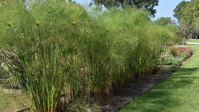 King Tut papyrus makes a good addition to Mississippi landscapes either as an annual or a perennial.
