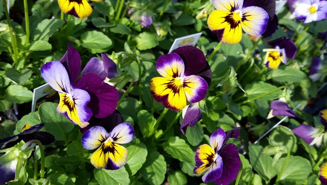 The Sorbet series of violas, such as this Midnight Glow selection, resists stretching and stays compact through winter and even as temperatures warm in the spring.