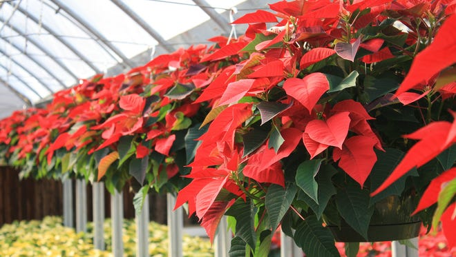 The appearance of poinsettias means the Christmas season is in full swing.