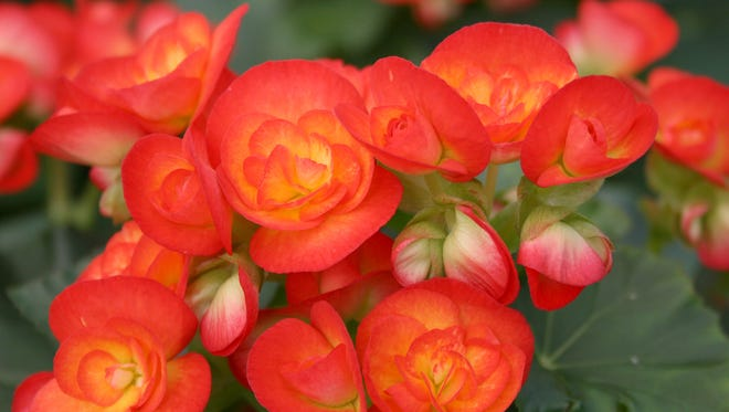 Having plants such as these Carneval begonias indoors during the winter adds beauty and a sense of charm and serenity.