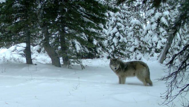 Remote camera pictures of the Minam wolf pack in Eagle Cap Wilderness of Wallowa County. Photos taken Dec. 14, 2012.