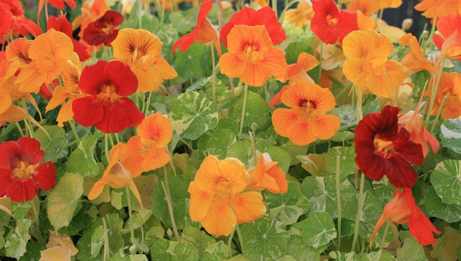 Nasturtium are heirloom flowers that are easy to grow and colorful. Their color variety, such as seen in these Nasturtium Alaska, can rival any new offerings in garden centers this spring.
