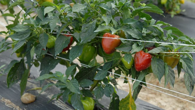You can harvest peppers at any time because they can be eaten both immature (green or purple) or mature (red or orange).