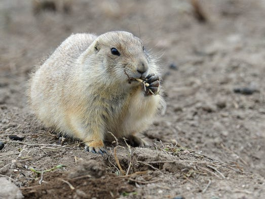 The Prairie Dog Relocation Group hopes to find a new