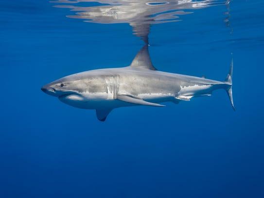 IMG_6833_George Probst_yourtake_ucg_shark5
