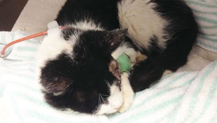 "Bart the ""zombie cat"" on the mend at Humane Society"
