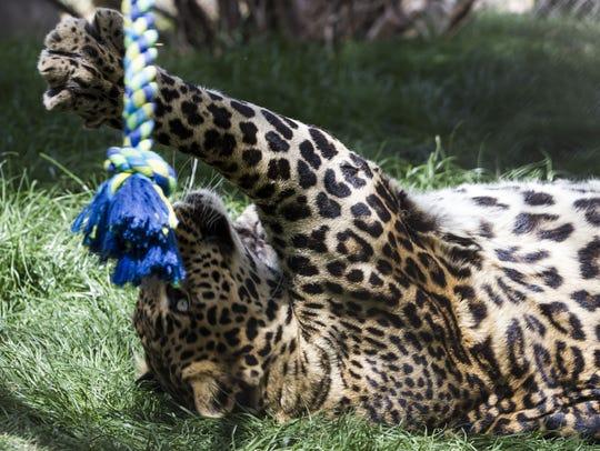 Leo, a jaguar at the Southwest Wildlife Conservation