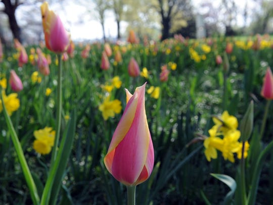 Tulips cover the lawn at the historic Crescent Bend
