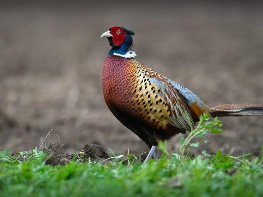 635806142207434279-pheasant