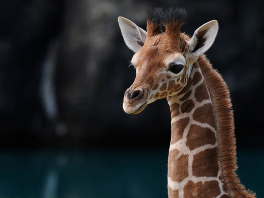 Connye, the baby giraffe, is introduced at the Montgomery
