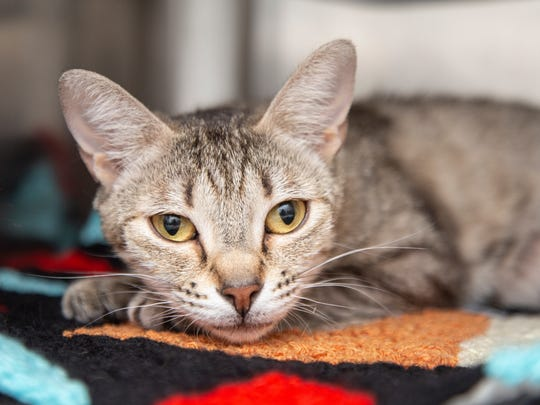 Olive is available for adoption at Arizona Humane Society's Sunnyslope Campus at 9226 N. 13th Avenue in Phoenix. For more information, call 602-997-7585 and ask for animal number 579133.