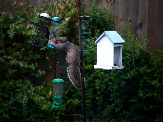 Squirrel eating bird food in the garden